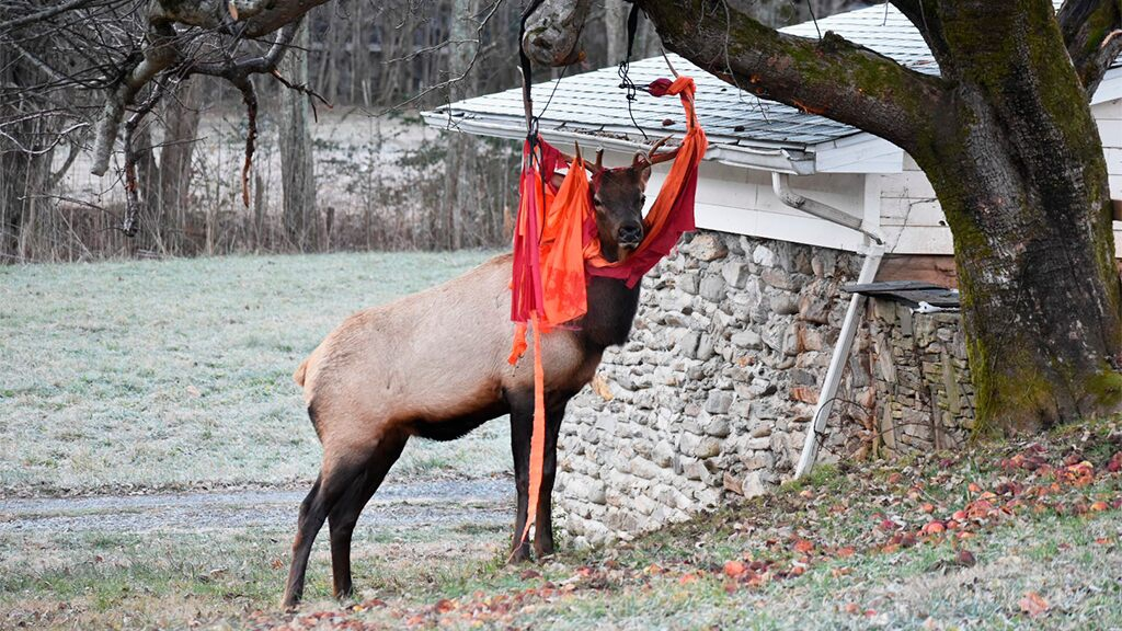 Photo of On Thanksgiving, elk with love of apples gets tangled up in North Carolina man's hammock