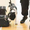 Бродячего пса взяли на службу в китайскую таможню