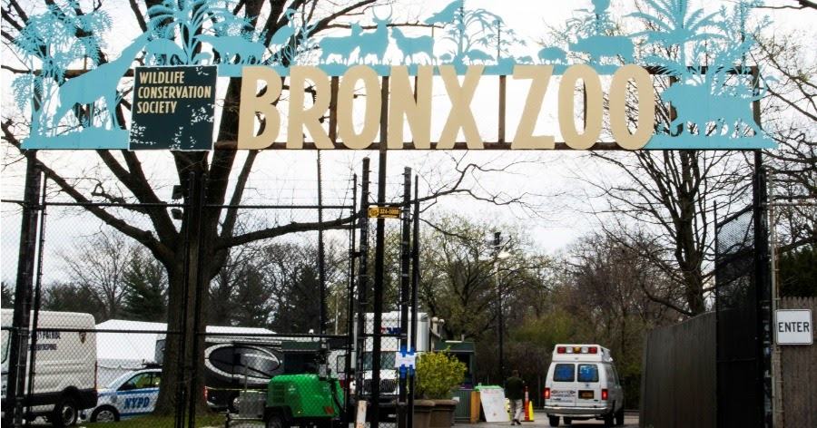 Фото В зоопарке Нью-Йорка коронавирусом заболела тигрица