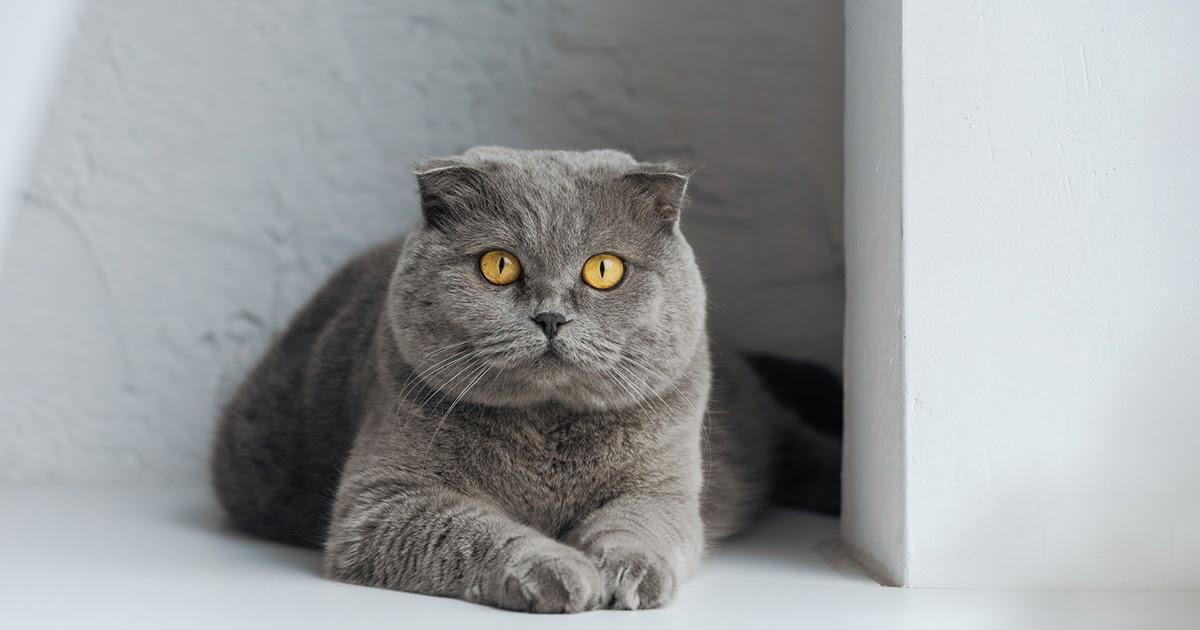 Фото Шотландская вислоухая кошка: история и описание породы. Характер скоттиш-фолд