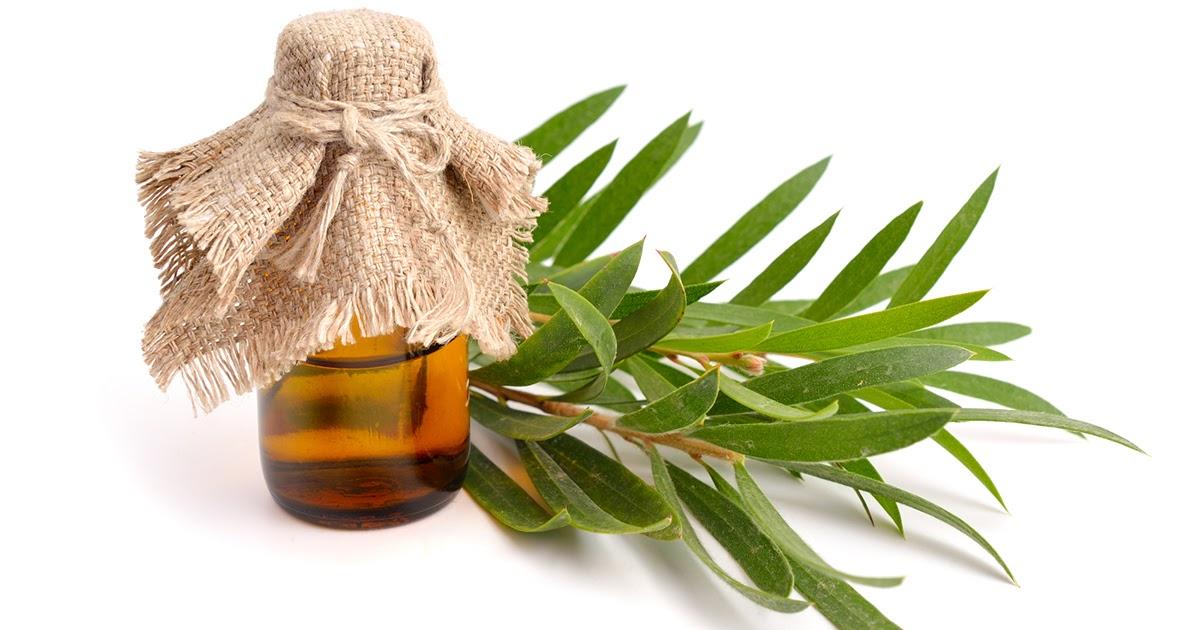 Масло чайного дерева: польза и применение для волос, кожи, ногтей