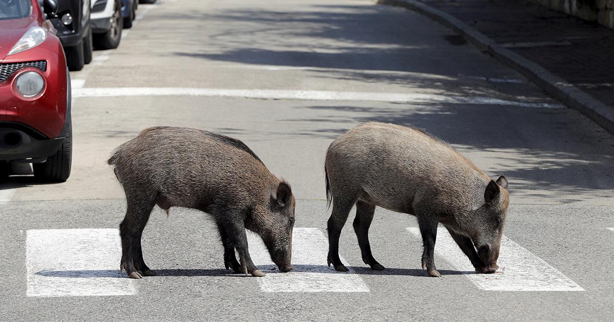 Едва не съели заживо. Дикие животные выходят в города из-за COVID-19