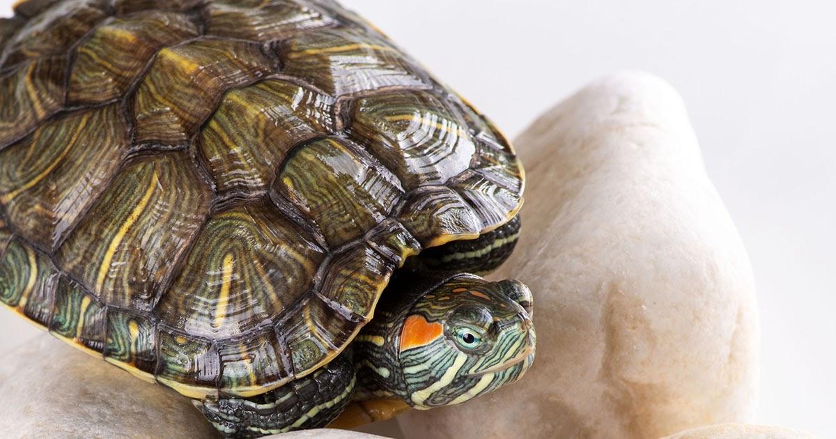 Фото Красноухая черепаха в домашних условиях: содержание, кормление и уход