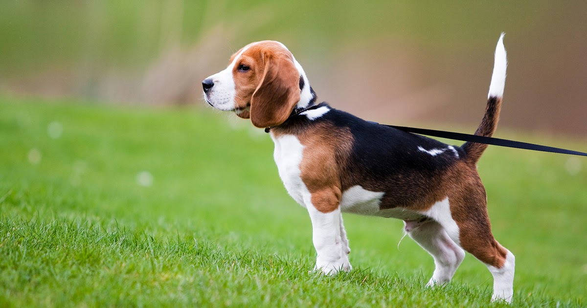 Собака бигль: фото, описание, характер и уход. Воспитание бигля