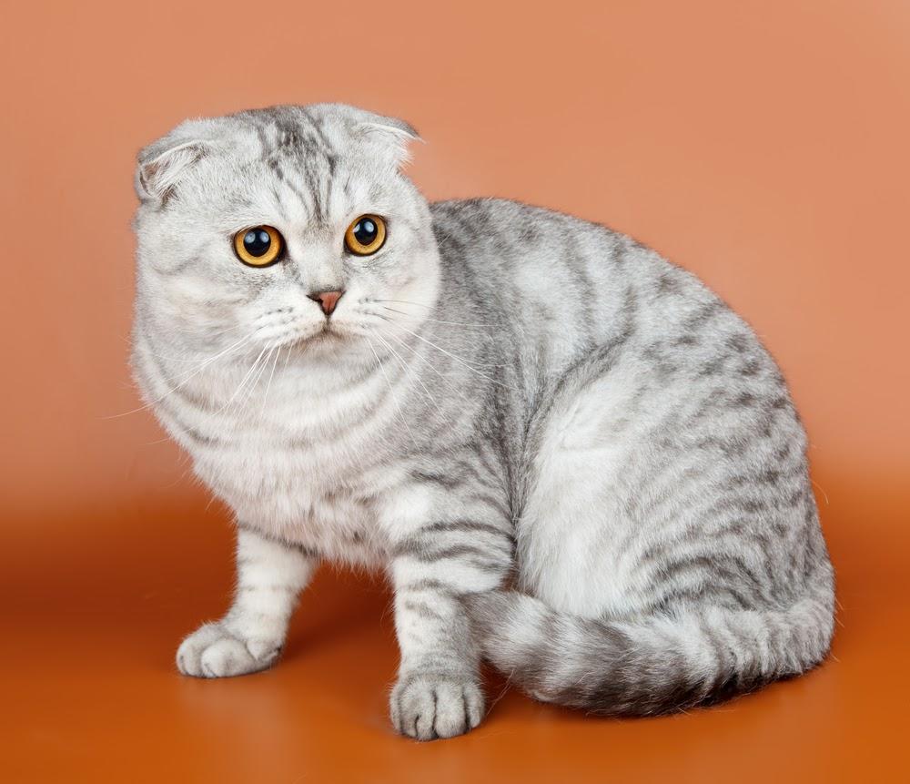 У кошки в России впервые диагностировали коронавирус