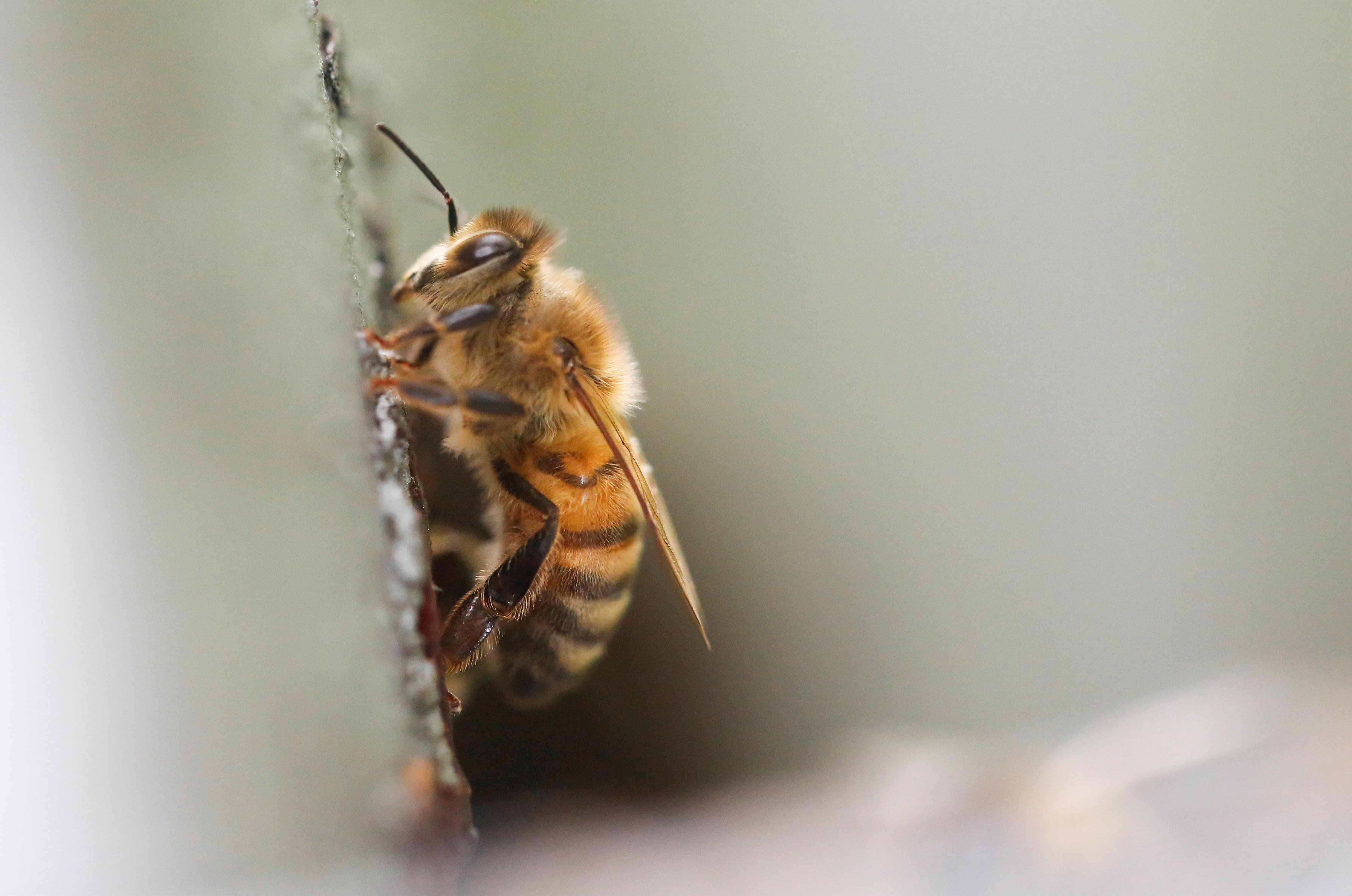Рак победили с помощью пчелиного яда
