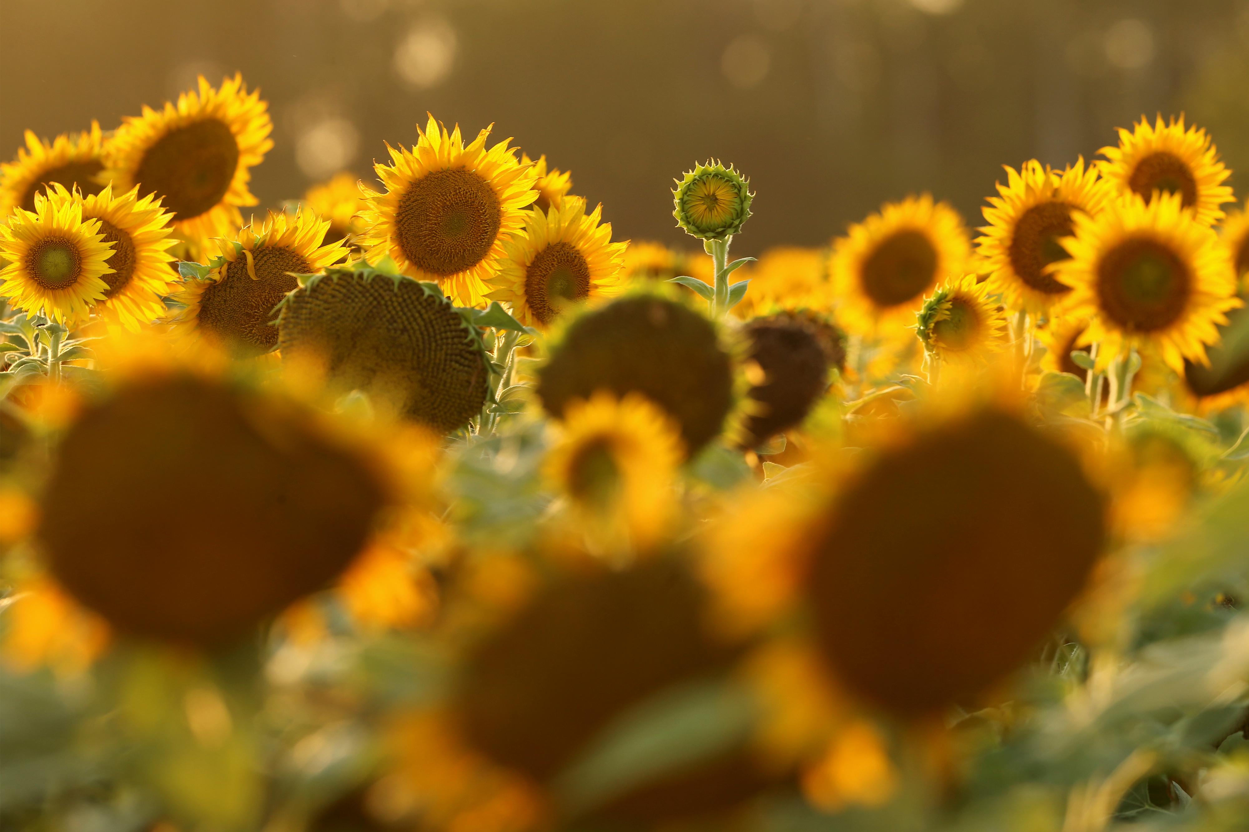 В этом году подсолнечное масло и семечки могут подорожать на 20%