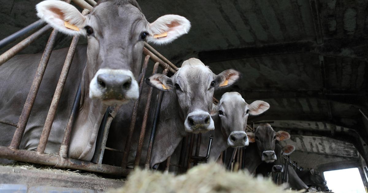 Сотрудники хабаровской фермы заявили, что коров морят голодом