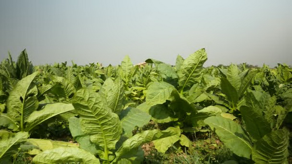 В США возмущены государственной помощью табачным фермерам