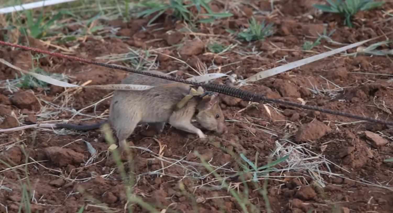В Британии высшую награду получила крыса-сапер