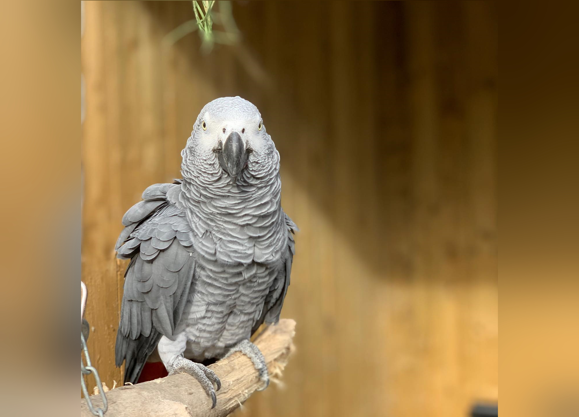 В британском зоопарке от посетителей спрятали матерящихся попугаев