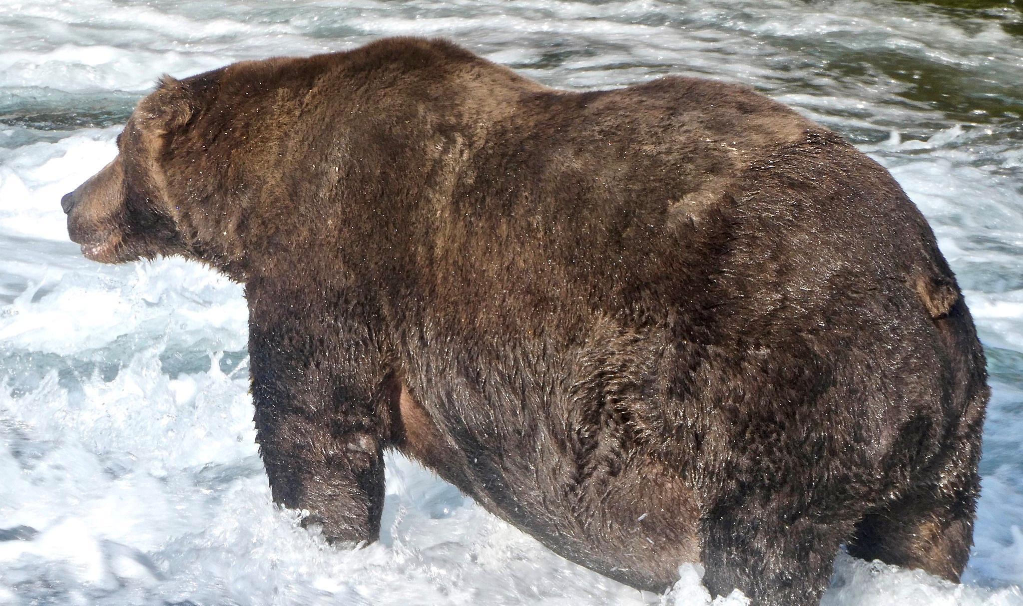 На Аляске выбрали самого толстого медведя года