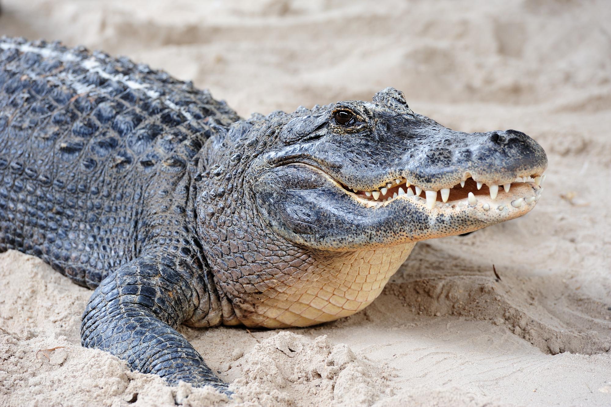 Житель Вологодской области пришел в полицию с крокодилом