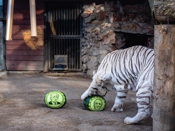 Обитатели красноярского зоопарка на арбузах предсказали итоги выборов главы США