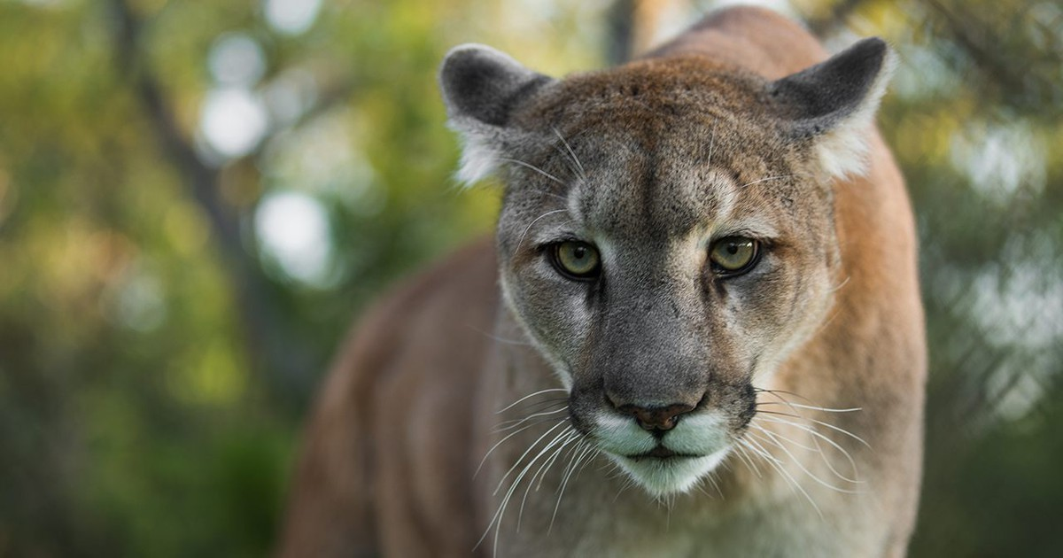 Photo of Two endangered Florida panthers found dead just days apart, wildlife officials say