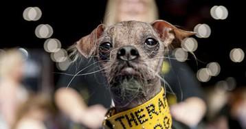 Самый уродливый пес в мире признан героем за помощь людям с инвалидностью