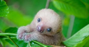 Ученые из Коста-Рики заботятся о маленьких ленивцах, заменяя им родных мам