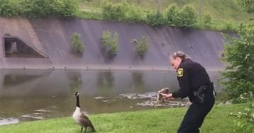 Мама-гусыня «попросила» полицейского спасти попавшего в беду гусенка