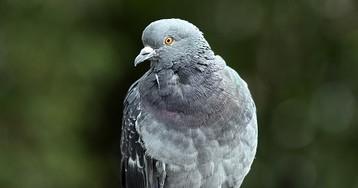 Чистоту воздуха оценят с помощью самых грязных птиц