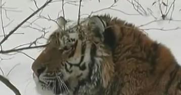 Тигр разорвал посетительницу парка природы под Пекином