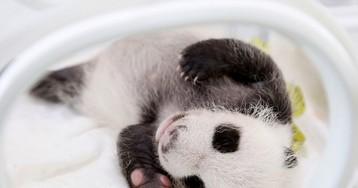 Маленькой панде из Шанхая исполнился месяц, и она уже очень активная