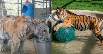Больной цирковой тигренок, весивший в четыре раза меньше положенного, чудом выздоровел