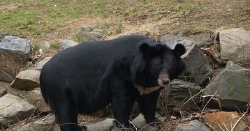 Опьяневшую в хабаровском селе медведицу с трудом вернули в лес