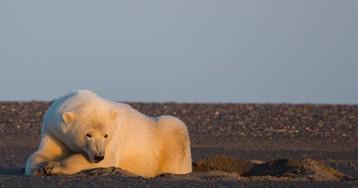 Aquecimento global: no Alasca, fotógrafa mostra a vida de ursos polares sem neve