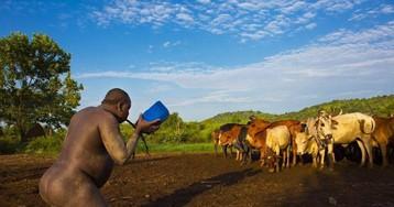 Мужчины эфиопского племени пьют кровь с молоком, чтобы получить звание самого толстого жителя деревни