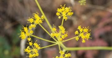Ученые из Томска выделили из растения ферула действующее вещество для иммунномодулирующего лекарства