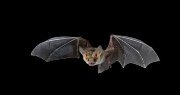 Bats Are the Number-One Carriers of Disease