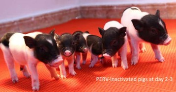 Scientists de-bug pig genome in preparation for farming organ donors