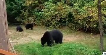 Канадец вежливо выпроводил медвежью семью со своего участка