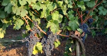 Новое кубанское виноделие