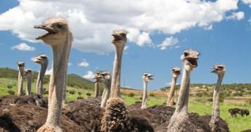 Сейчас многие фермеры разводят страусов…