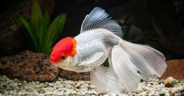 Извините, эта рыбка непродаётся