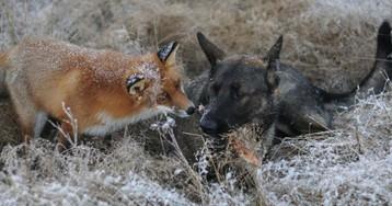 Невозможная дружба: лиса и охотничий пёс