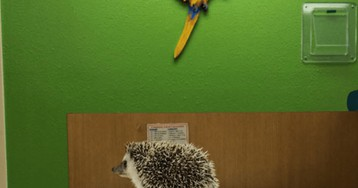 Tiny Hedgehog's Anesthetic Dental Exam Is Just Too Adorable!