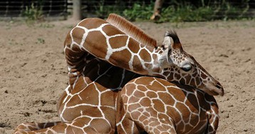 Giraffes Are Sleeping In Weird Positions And Here Are 10 Photos To Prove It