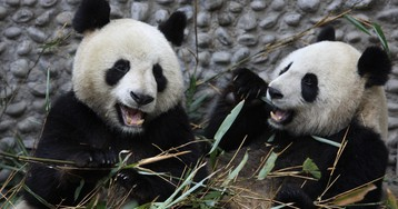 Panda poop is being turned into tissues in China