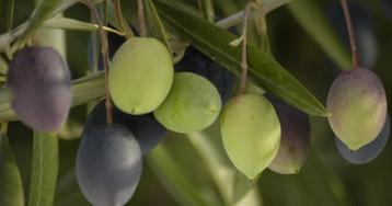 Три мифа об оливковом масле