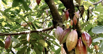 Ghana Risks the Anger of 800,000 Cocoa Farmers
