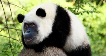Ученым удалось вывести невероятный гибрид орангутанга с пандой