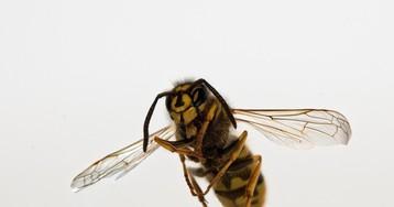Теплолюбивые осы обосновались в Москве