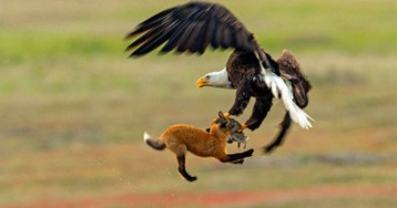 Зообитва года: эпичное сражение орлана и лисы за обед