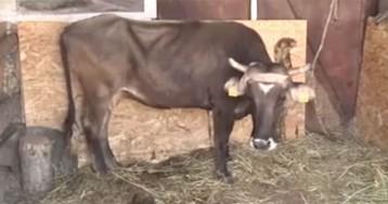 Даже Пол Маккартни вступился: беременную корову Пенку, сбежавшую из Евросоюза, помиловали