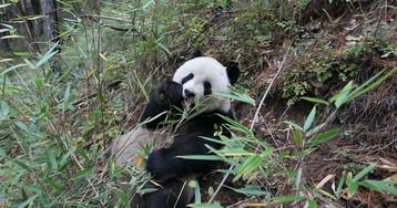 Pandas aren't worth saving—but their habitat is