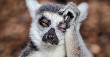 Фотограф из Мельбурна заснял страдающего от похмелья лемура