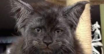 «Это то, что я увижу перед смертью»: котенок мейн-кун с человеческим лицом из Люберец пугает соцсети