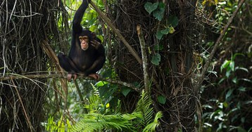 Chimp sanctuary created by World Bank threatened by World Bank-backed dam